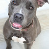 ID#A356686  Spayed female, gray and white Pit Bull Terrier.  About 2 years and 2 months old.  At the shelter since May 24, 2014.