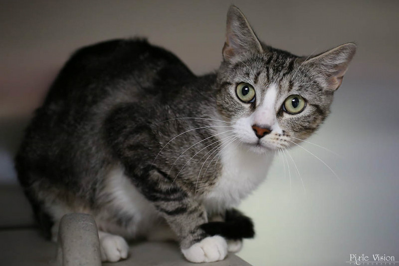 ID#A359061  Female, gray tab Domestic Shorthair.  About 1 years and 7 months old.  At the shelter since Jun 25, 2014.