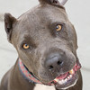 ID# A354227	  Spayed female, blue and gray Pit Bull Terrier, about 2 years and 3 months old.