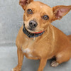 "SPARKY - ID#A351324  Neutered male, red and white Miniature Pinscher and Chihuahua - Smooth Coated.  About 3 years old.  At the shelter since Jun 15, 2014.Sparky (A351324) is a playful, three-year-old Miniature Pinscher/Chihuahua mix. He's very friendly, affectionate and playful. Sparky enjoys going out for walks and loves belly rubs. He's a smart boy, too! He earned his Blue Ribbon so he can show off his ""sit,"" ""down"" and ""stay"" commands. His adoption fee is reduced to $100. Call 626.792.7151 for more information"