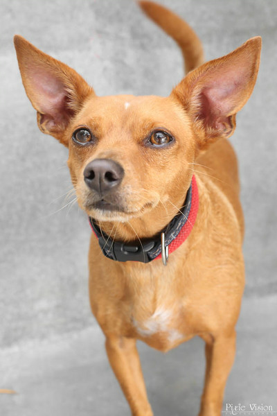 """SPARKY - ID#A351324  Neutered male, red and white Miniature Pinscher and Chihuahua - Smooth Coated.  About 3 years old.  At the shelter since Jun 15, 2014.Sparky (A351324) is a playful, three-year-old Miniature Pinscher/Chihuahua mix. He's very friendly, affectionate and playful. Sparky enjoys going out for walks and loves belly rubs. He's a smart boy, too! He earned his Blue Ribbon so he can show off his """"sit,"""" """"down"""" and """"stay"""" commands. His adoption fee is reduced to $100. Call 626.792.7151 for more information"""