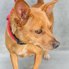 "SPARKY - ID#A351324  Neutered male, red and white Miniature Pinscher and Chihuahua - Smooth Coated.  About 3 years old.  At the shelter since Jun 15, 2014. Sparky (A351324) is a playful, three-year-old Miniature Pinscher/Chihuahua mix. He's very friendly, affectionate and playful. Sparky enjoys going out for walks and loves belly rubs. He's a smart boy, too! He earned his Blue Ribbon so he can show off his ""sit,"" ""down"" and ""stay"" commands. His adoption fee is reduced to $100. Call 626.792.7151 for more information"