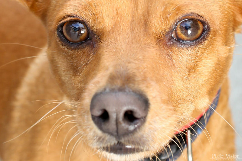 """SPARKY - ID#A351324  Neutered male, red and white Miniature Pinscher and Chihuahua - Smooth Coated.  About 3 years old.  At the shelter since Jun 15, 2014. Sparky (A351324) is a playful, three-year-old Miniature Pinscher/Chihuahua mix. He's very friendly, affectionate and playful. Sparky enjoys going out for walks and loves belly rubs. He's a smart boy, too! He earned his Blue Ribbon so he can show off his """"sit,"""" """"down"""" and """"stay"""" commands. His adoption fee is reduced to $100. Call 626.792.7151 for more information"""