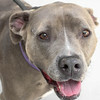 LITTLE GIRL - ID#A358741  Female, gray and white Pit Bull Terrier.  About 10 years old.  At the shelter since Jun 20, 2014.