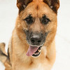 ID#A358508  Neutered male, tricolor German Shepherd Dog.  About 5 years old.  At the shelter since Jun 18, 2014.