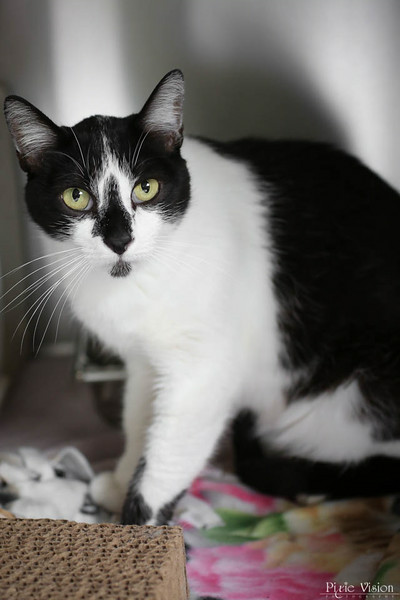 HOMER - ID#A357153  Neutered male, white and black Domestic Shorthair.  About 2 years and 1 month old.  At the shelter since May 30, 2014.