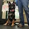 A357480 — Harley is a six-month-old German shepherd pup who was brought to shelter after being hit by a car leaving his front right paw was fractured. He's making a slow recovery, but a loving home would be the best medicine for him! Call an adoption counselor for more information at 626.792.7151. ID#A357480  Neutered male, black and tan German Shepherd Dog mix.  About 6 months old.  At the shelter since Jun 04, 2014.