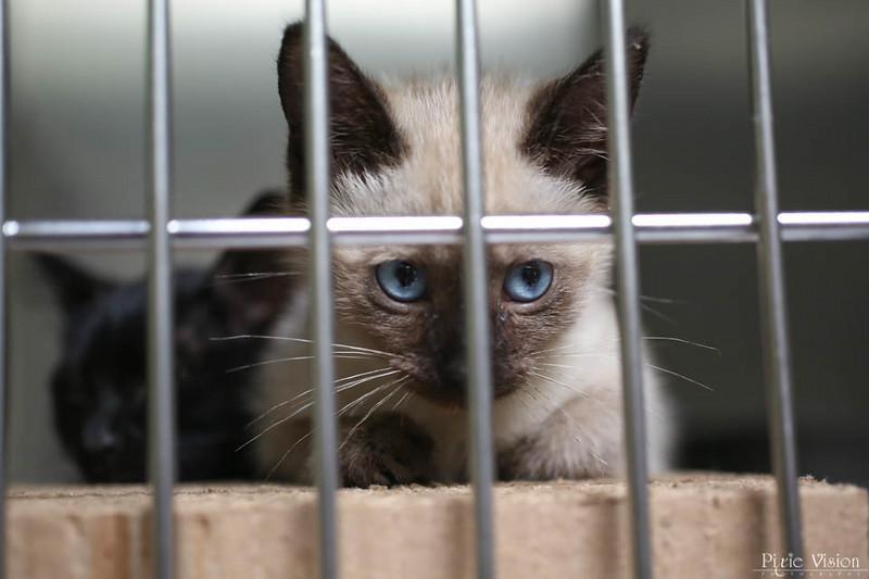 ID#A360445  Female, chocolate point Domestic Shorthair and Siamese.  About 3 months old.  At the shelter since Jul 09, 2014.