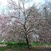 Prunus Persica Nucipersica - Flowering Nectarine Tree. At the Bauer Lawn