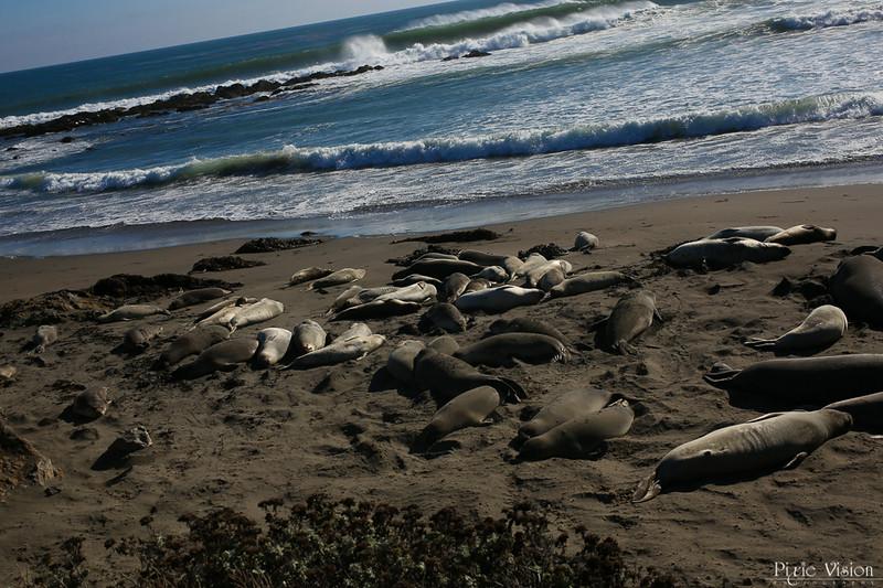 Elephant Seals ~ San Simeon, CA