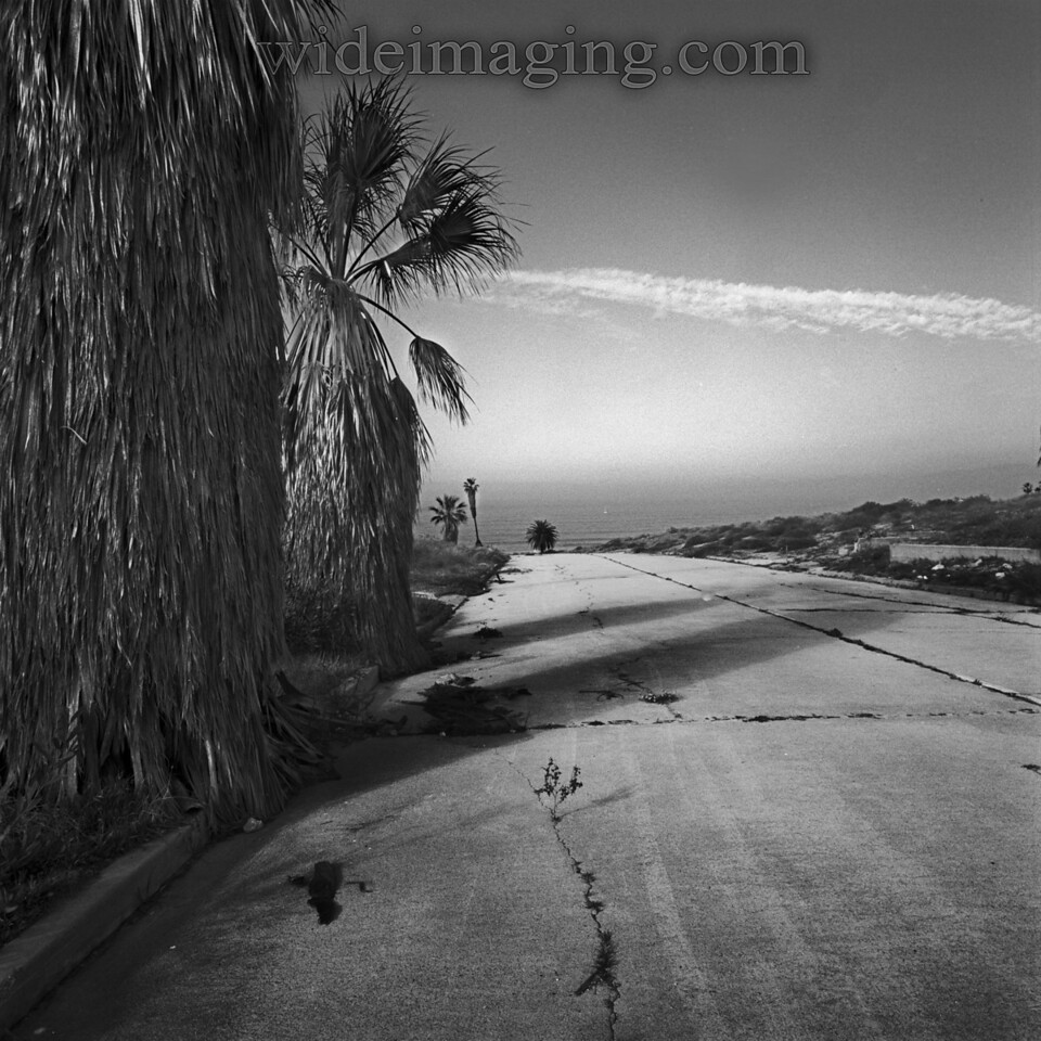 These Fan Palms on Ipswich Street have not been trimed in 30 years. Playa Del Rey, Ghost Town, from October 9, 2000.