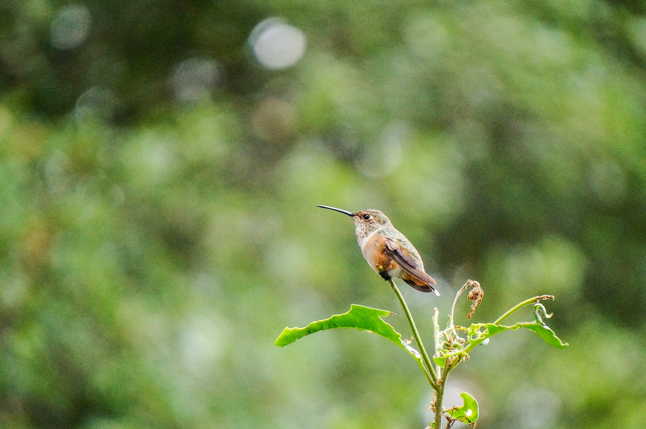 Hummingbird On A Leaf