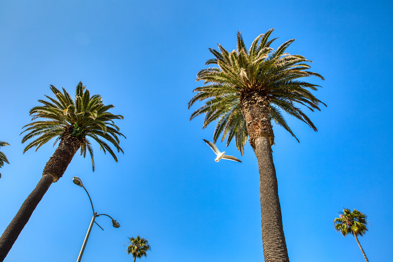 Palms and Gulls - Santa Monica