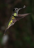 Striped-tailed_Hummingbird_Los_Quetzales0038