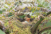 Mountain_Robin_With_Chick_Los_Quetzales0022