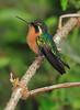 White_Throated-Mountaingem_Female_Hummingbird_Los_Quetzales0014