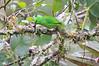 Golden-browed_Chlorophonia_Los_Quetzales0027
