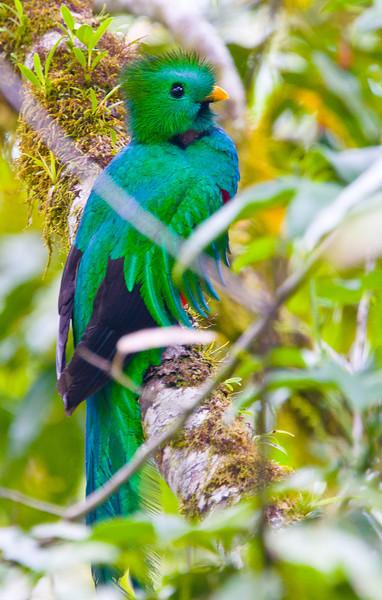 Resplendent_Quetzal_Los_Quetzales0015