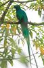 Resplendent_Quetzal_Los_Quetzales_Ecolodge0014