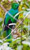 Resplendent_Quetzal_Los_Quetzales0017