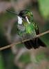 White_Throated-Mountaingem_Hummingbird_Los_Quetzales0009