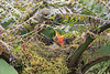 Mountain_Robin_With_Chick_Los_Quetzales0020