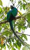Resplendent_Quetzal_Los_Quetzales0005