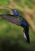 Violet_Sabrewing_Hummingbird_Los_Quetzales0005