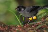 Yellow_Thighed_Finch_Los_Quetzales