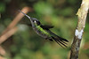 Striped-tailed_Hummingbird_Los_Quetzales0035