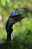 Violet_Sabrewing_Hummingbird_Los_Quetzales0006