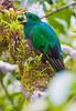 Resplendent_Quetzal_Los_Quetzales0012
