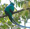 Resplendent_Quetzal_Los_Quetzales0013