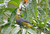 Long_Tailed_Silky_Flycatcher_Los_Quetzales0004