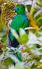 Resplendent_Quetzal_Los_Quetzales0018