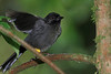 Yellow_Thighed_Finch_Los_Quetzales0002