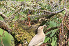 Mountain_Robin_With_Chick_Los_Quetzales0011