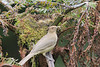 Mountain_Robin_With_Chick_Los_Quetzales0017