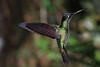 Striped-tailed_Hummingbird_Los_Quetzales0039