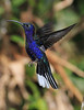 Violet_Sabrewing_Hummingbird_Los_Quetzales0013
