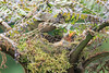 Mountain_Robin_With_Chick_Los_Quetzales0026