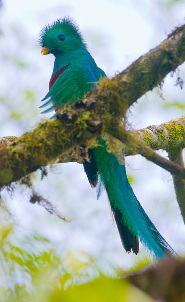 Resplendent_Quetzal_Los_Quetzales0019
