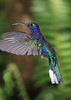 Violet_Sabrewing_Hummingbird_Los_Quetzales0002
