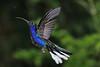 Violet_Sabrewing_Hummingbird_Los_Quetzales0011
