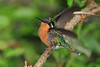 White_Throated-Mountaingem_Female_Hummingbird_Los_Quetzales0013