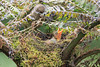 Mountain_Robin_With_Chick_Los_Quetzales0021