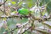Golden-browed_Chlorophonia_Los_Quetzales0026
