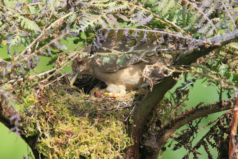 Mountain_Robin_With_Chick_Los_Quetzales0005