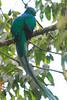 Resplendent_Quetzal_Los_Quetzales0014