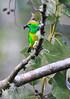 Golden-browed_Chlorophonia_Los_Quetzales0028